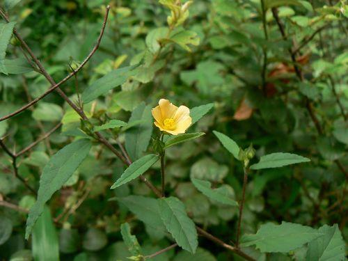 roślina Sida Acuta